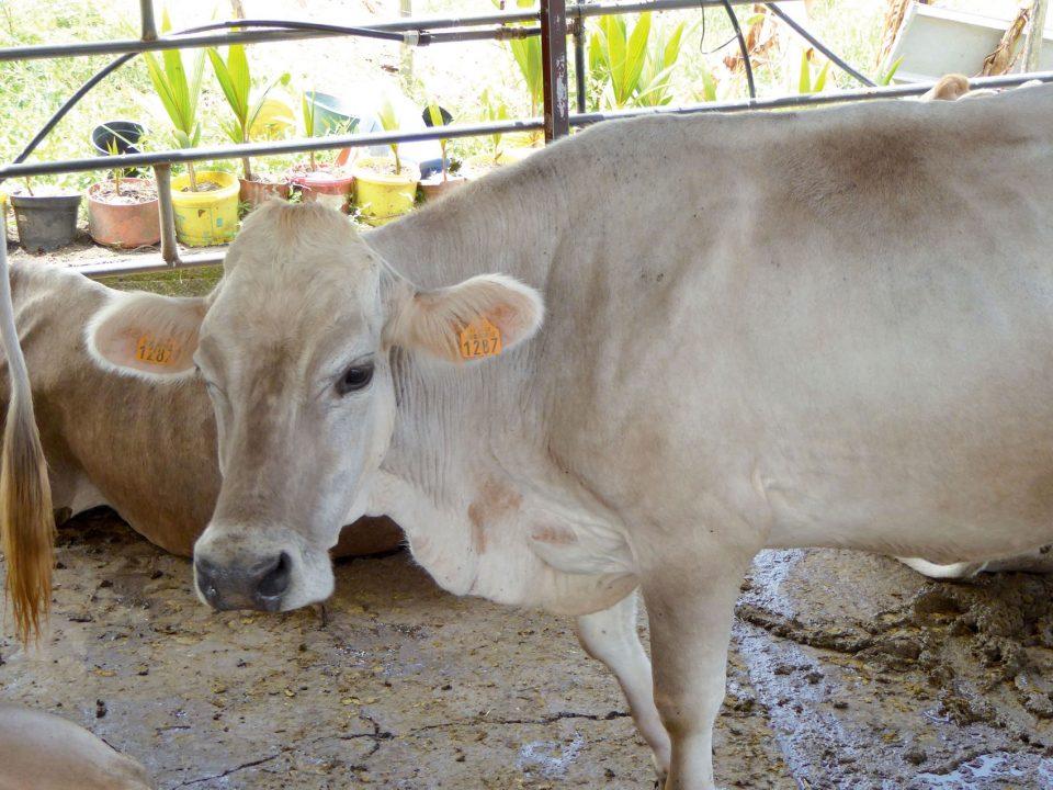 Abattoir en Martinique : l'origine des problèmes