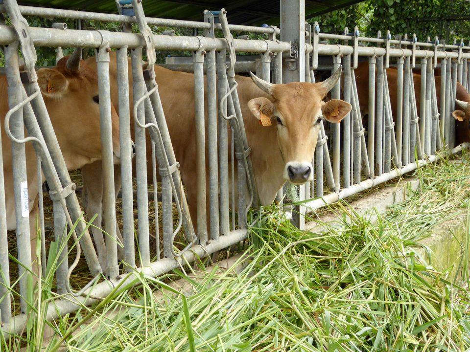 Organisation de la filière viande en Martinique. Madivial : une belle idée transformée en machine de destruction massive