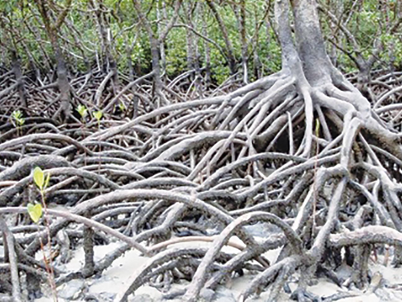 Les mangroves mieux cartographiées